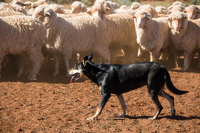 Dog and flock of sheep