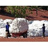 Bt cotton is the most widely grown GM crop by poor farmers in Africa.