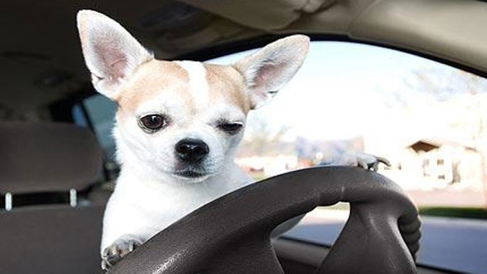 Dogs behind the Wheel