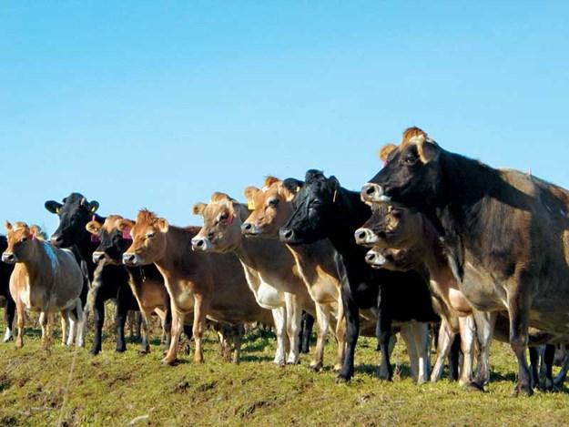 Dairy-cows.jpg