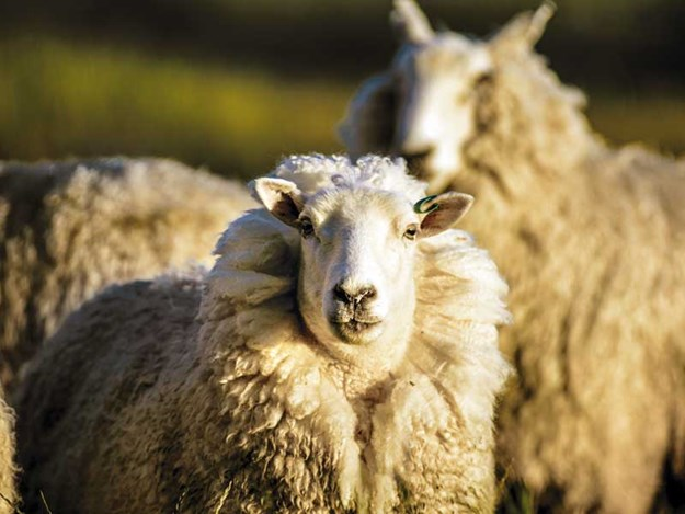 Wool-odour-key-to-protecting-sheep-from-flystrike.jpg