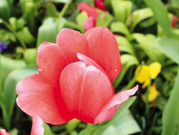 Spring-beauty.jpg