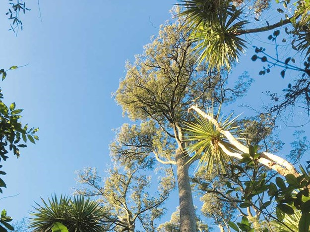 Kahikatea,-New-Zealand's-tallest-trees,-Riccarton-bush.jpg