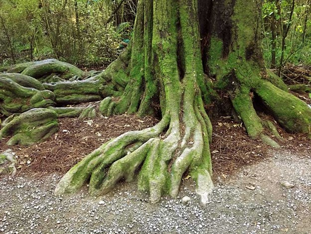 Roots-of-a-kahikatea,-which-could-be-up-to-600-years-old-in-Riccarton-bush.jpg
