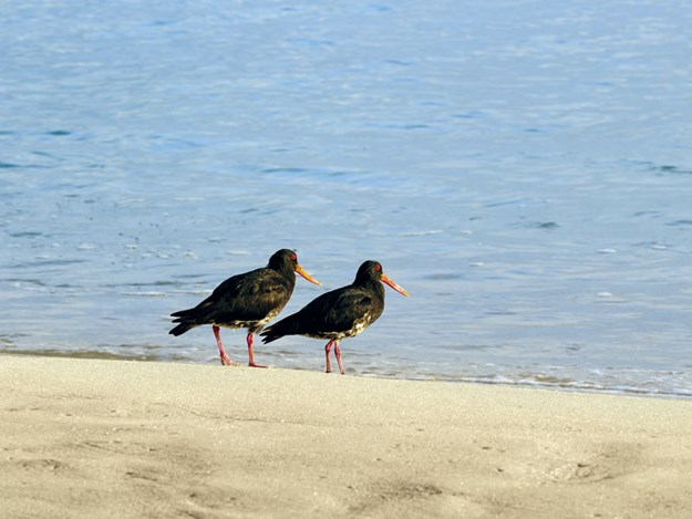 Oyster-Catchers-(Wildlife).jpg