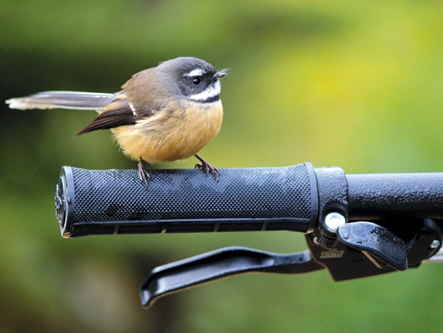 A-cheeky-fantail-stops-by-to-say-hi.jpg
