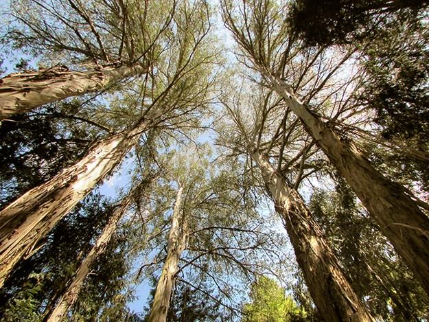 nzmcd go gisborne Whelan_14 Magestic trees at Eastwoodhill.jpg