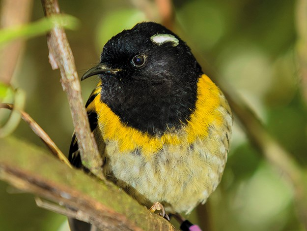 A-Z of the Waikato Copy of A stitchbird at Sanctuary Mountain (Maddox photography).jpg