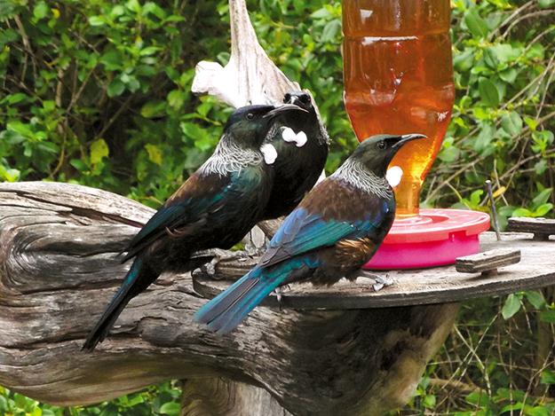 Tiritiri matangi Tui feeding outside the Visitor Centre.png