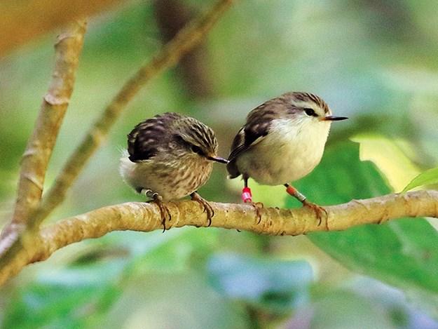 rifleman chick and female melissa boardman.jpg