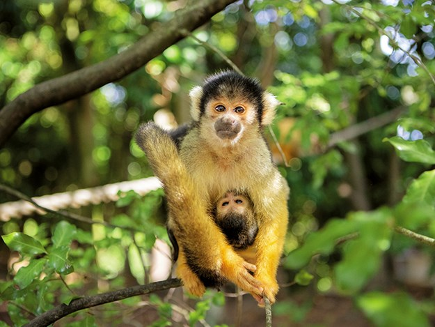 Auckland Zoo A squirrel monkey mum and baby