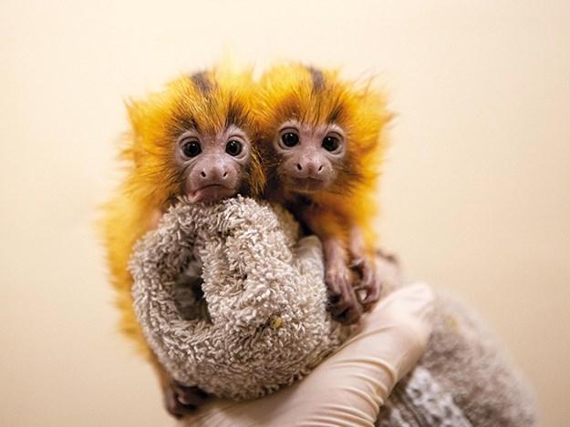 Baby golden lion tamarin twins