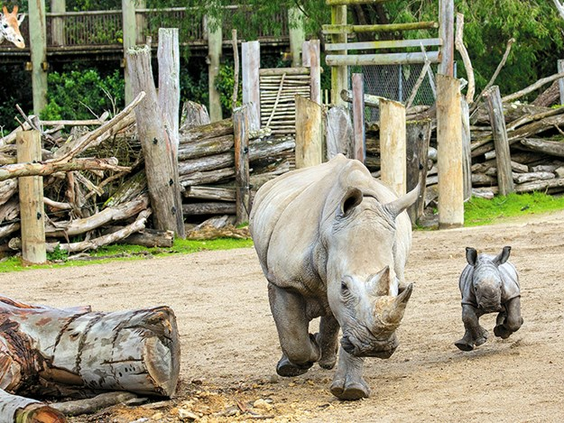A new addition to the African section is rhino calf Nyah with mum Jamila