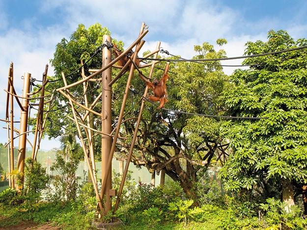 orangutans in high canopy primate habitat.jpg