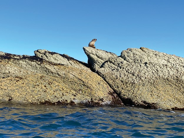 A fur seal lazing on Kaikoura Peninsula