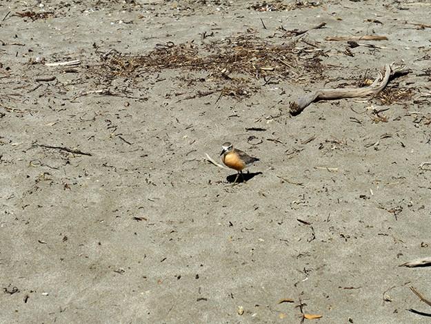 A godwit patrols the beach.jpg