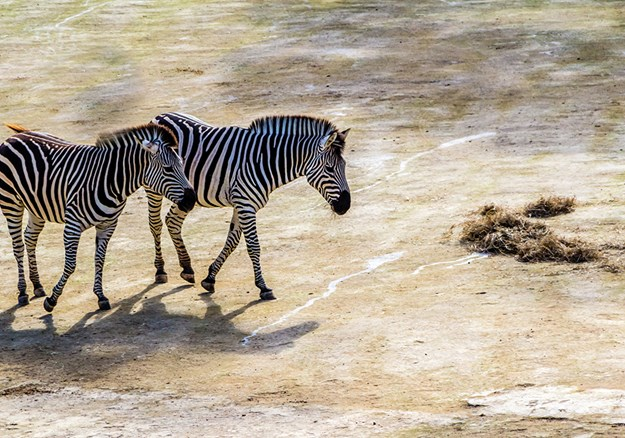Zebras taking an afternoon stroll at Auckland Zoo