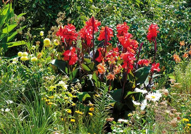 Canna lilies add a tropical feel to the Bason perennial garden