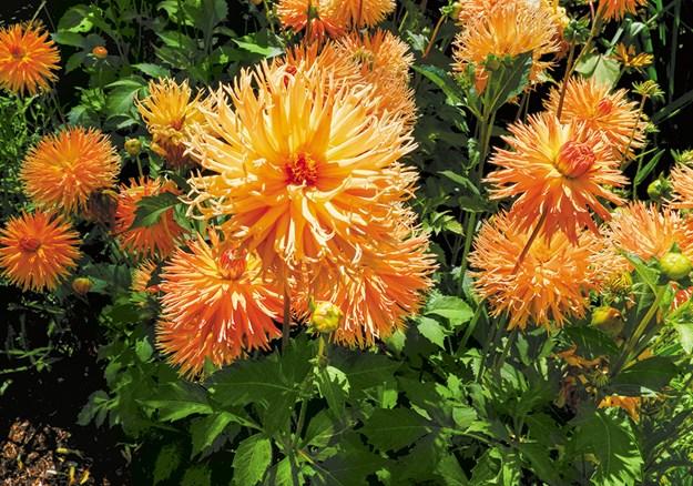 Dahlias are summer staples at Bason Reserve