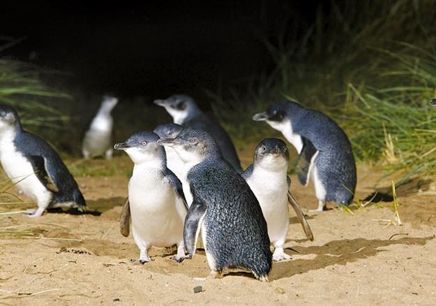 Little blue penguins