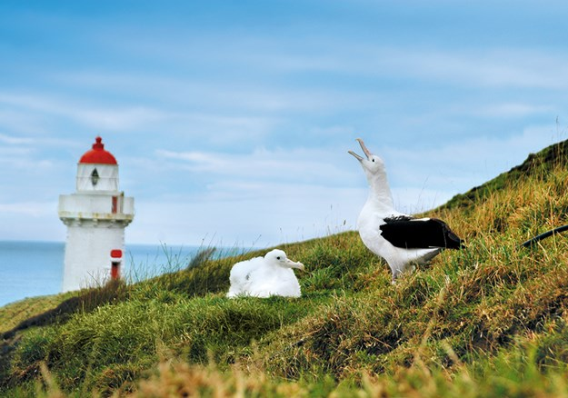 A royal albatross and chick