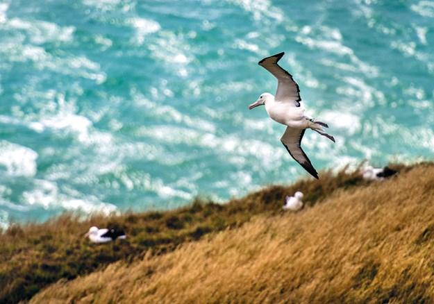 A majestic royal albatross