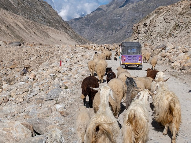 Rickshaw-Run-cattle.jpg