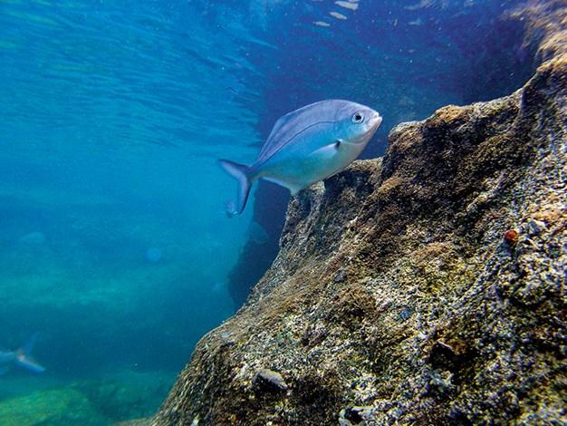 Goat Island marine reserve blue maomao