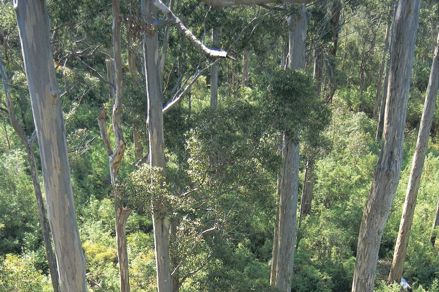Treetops in Warren National Park, WA