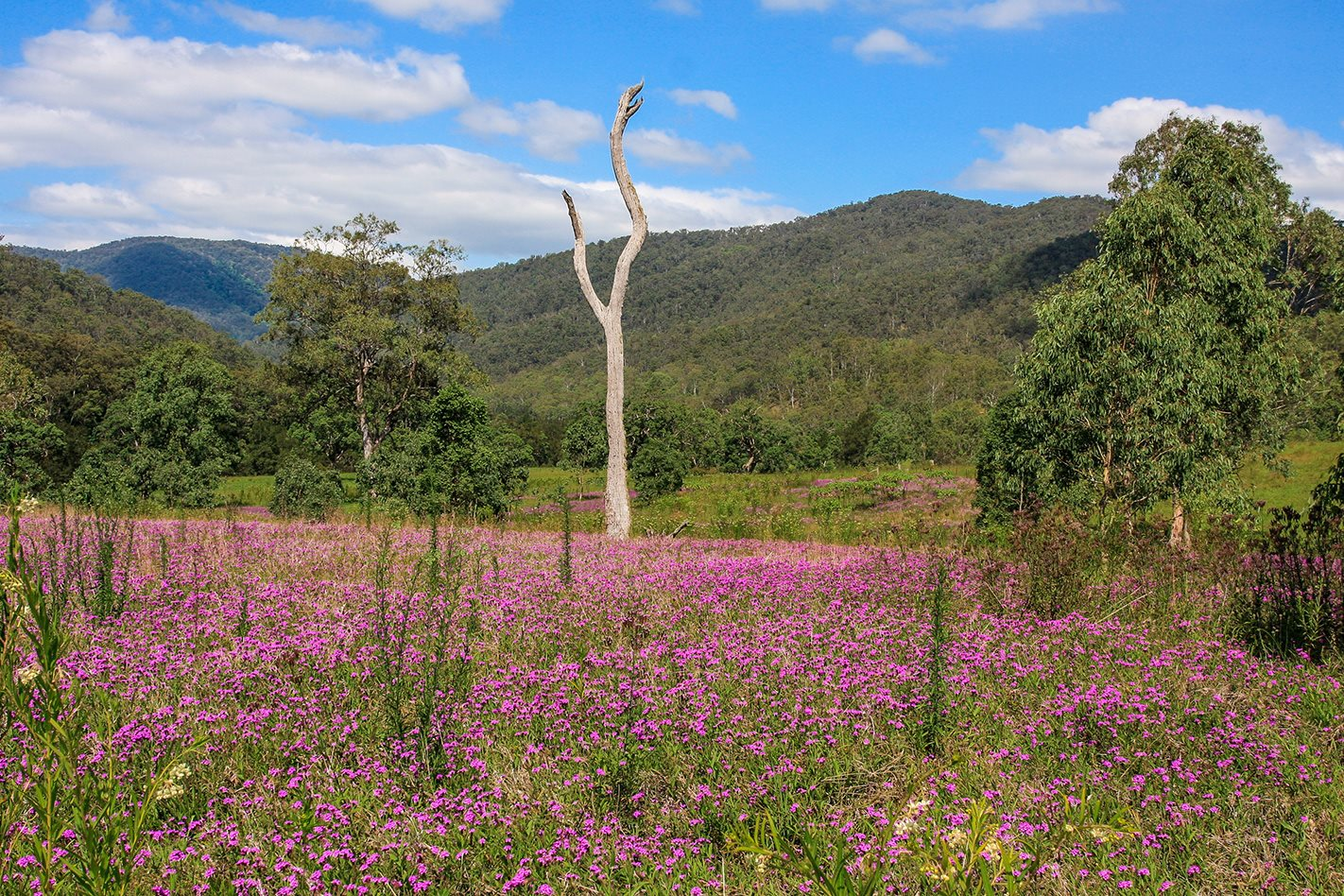 Spring time in Chaelundi National Park, NSW