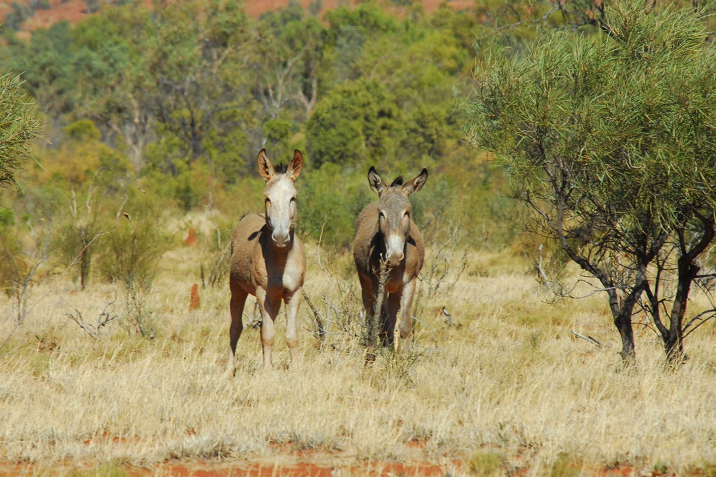 Davenport Ranges, NT Wild Donkeys