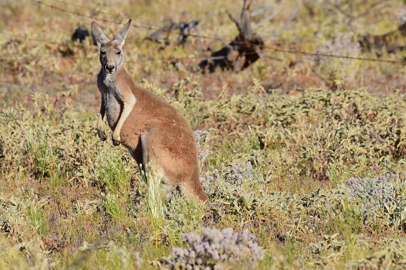 Red Kangaroos Darling River NSW.jpg