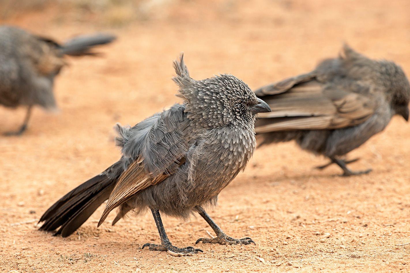 Lake-Mungo-NSW-apostle-bird.jpg