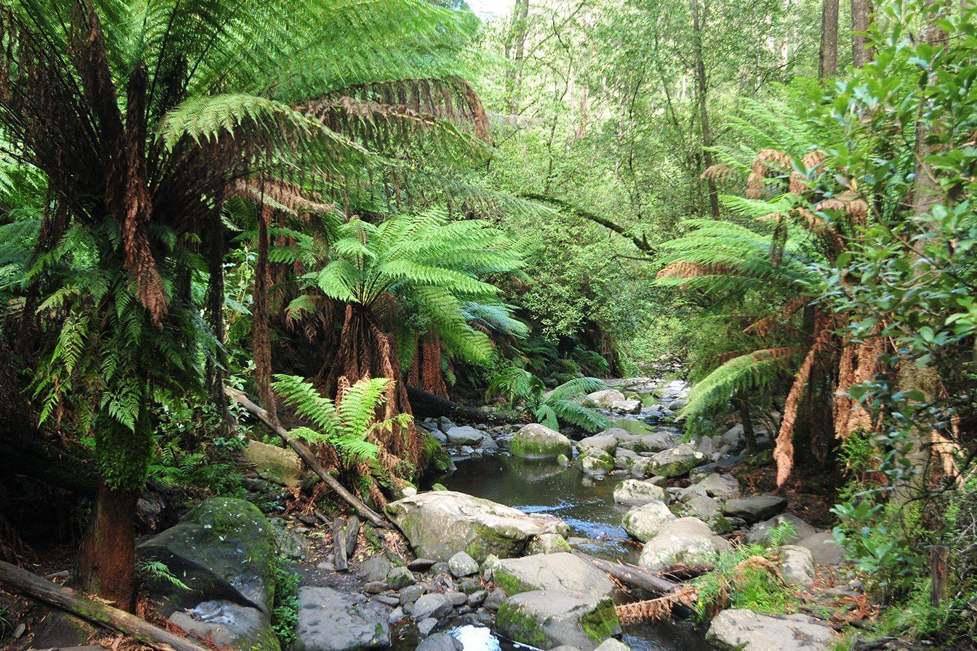 Cape-Otway,-VIC-rainforest.jpg