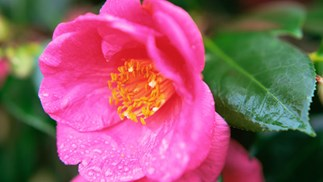Camellias: The queen of winter flowers