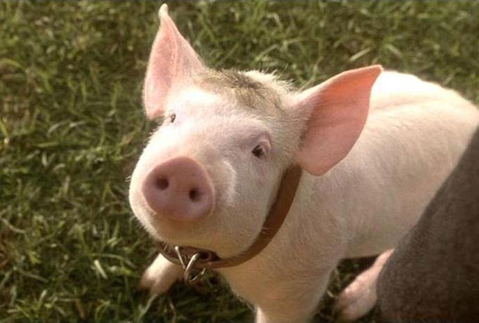 Babe the pig.