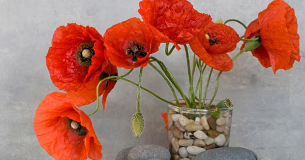 How To Grow Poppies In Winter Australian Womens Weekly
