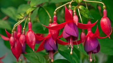 The problem with fuchsias