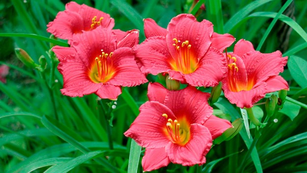 The secret to delightful daylilies