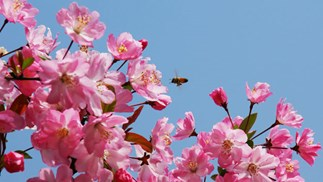 Spring into glory with crab apples