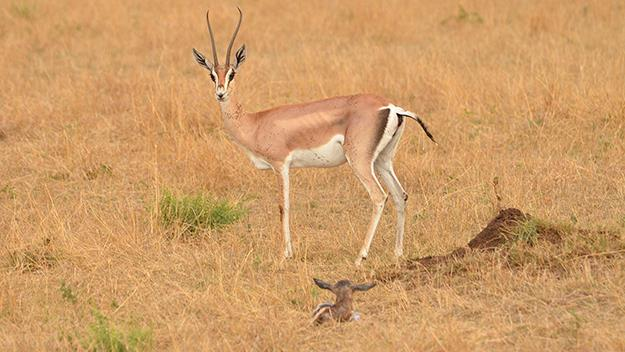 A Grant's gazelle and her newborn.