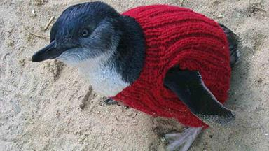 Knitters wanted for penguin pullovers