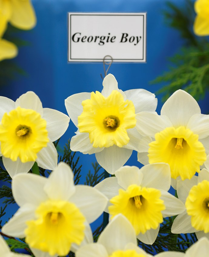 A new variety of Daffodil called 'Georgie Boy' named after Prince George.