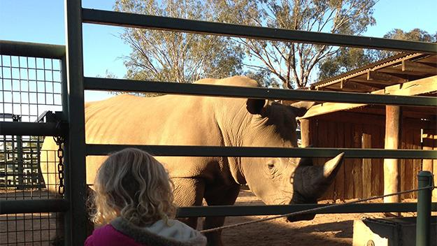 A rhinoceros at Taronga Western Plains Zoo in Dubbo.