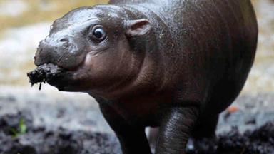 Baby hippo has first swim