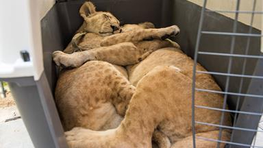 """""""Pet"""" lion cubs rescued from home in Gaza"""