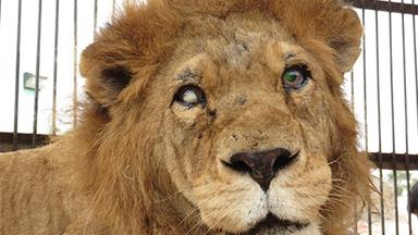 Blind lion rescued from underground circus