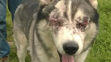 Dog loses eyes when 'insect bites' turn out to be something much worse