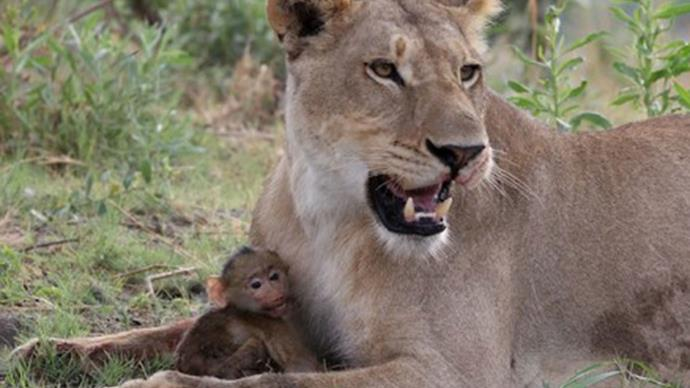 Lioness rescues orphaned baby baboon