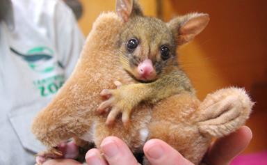Orphaned possum loves this stuffed kangaroo
